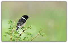 Tarier pâtre (guiguid45) Tags: nature sauvage oiseaux bird passereaux vignes loiret d810 nikon 500mmf4 tarierpâtre stonechat saxicolatorquatus affût