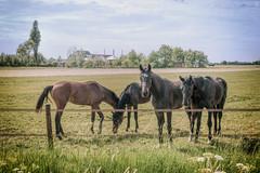 Horses, field and farm (Jorden Esser) Tags: middendelfland farm fence field grass hass horse horses slide sliderssunday summer vintage