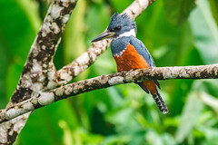 Ringed Kingfisher (fotofrysk) Tags: ringedkingfisher martinpescadorcollarejo ceryletorquatus bird aves tree branch lakearenalcrossing centralamericatrip costarica lakearenal afsnikkor200500mm56eed nikond7100 201702060798