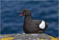 Black Guillemot (Antony Ward) Tags: blackguillemot shetlandbirds mousa