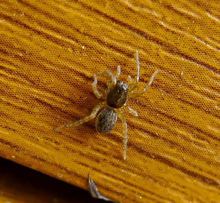 Lycosidae, wolf spider