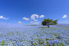Blue on blue (Takuya_Igarashi) Tags: ひたちなか市 茨城県 日本 jp color hitachi blue park nemofira blueeyes flower hill seaside 2017 茨木 国営ひたち海浜公園 ネモフィラ 青 春 丘 outdoor