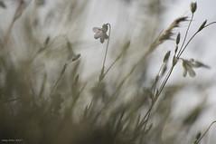 Resistance ! (oskaybatur) Tags: dof spring april ilkbahar flower wildflower 2017 oskaybatur türkiye turkey turkei pentax pentaxart justpentax pentaxkr smcpentaxdal55300mmf458ed çerkezköy kuşbahçe monochrome kırçiçekleri