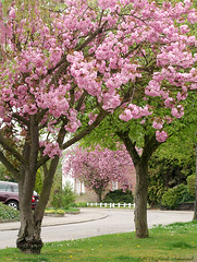 Enamoured Spring (Natali Antonovich) Tags: belgium belgique belgie blossom enamouredspring spring nature tree cherryblossom cherrytree tervuren tradition landscape