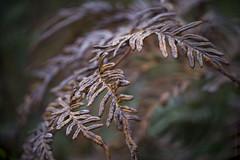Fern vortex (gnarlydog) Tags: kodakanastigmat63mmf27 adaptedlens vintagelens manualfocus swirly bokeh ferns nature decay australia autumn abstract shallowdepthoffield