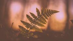fern (sarahlovesthesun_photos) Tags: fern farn macro makro explore light sunset colors nature woods forest wald