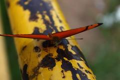 Borboleta bairro São João JM - Wir Caetano - 26 04 2017 (23) (dabliê texto imagem - Comunicação Visual e Jorn) Tags: borboleta inseto amarelo escada ferrugem