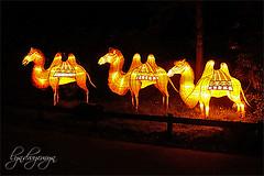 camels (what rough beast) Tags: lightinstallation art camels animals chinesischelichter allwetterzoomünster lichtinstallation kamele trampeltiere tiere