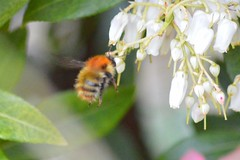 Making most of daylight ((fiona) thank you for your visit) Tags: light exposure bee wildlife nikon