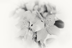 Black & White Petals (Javcon117*) Tags: bw black white monochrome flower blossom bud javcon117 frostphotos petal anther filament stamen romantic romance soft fade gentle spring cherry leaf leaves tree