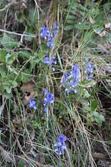 Polygala calcarea (esta_ahi) Tags: fontrubí penedès barcelona spain españa испания polygala calcarea polygalacalcarea polygalaceae flor flora flores silvestres blue