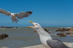 Bickering Seagulls (jennifer.stahn) Tags: travel travelphotography maroc marocco marokko essaouira möve möven seagull seagulls bird birds wild wildlife seascape fight animal