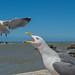 Bickering Seagulls