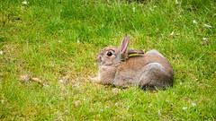 Kaninchens Pause (p.schmal) Tags: panasonicgx80 hamburg farmsenberne bernerau kaninchen