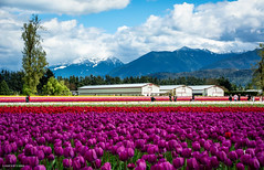 Tulips of the Valley Festival (SonjaPetersonPh♡tography) Tags: tulips flowers fraservalley tulipfields chilliwack britishcolumbia canada blooms flowersblooming spring nikon nikond5200 nikonafsdxnikkor18300mmf3563gedvr tulipsofthevalleyfestival tulipsofthevalley festival tulip tulipfestival landscape fields springtime tulipsfields gardens blooming people visitors