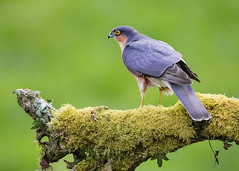 "Sparrowhawk (coopsphotomad) Tags: sparrowhawk hawk bird animal wildlife nature avian bop ""bird prey"" green moss perch predator eye branch"