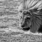 Tanzania's Great Lions thumbnail