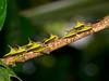 Buckelzikade, Umbonia spinosa