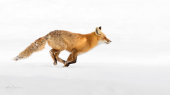Red Fox (m_Summers) Tags: summerswildlife utah fox wildlife winter northernutah mammal vulpesvulpes snow nature canine wild redfox wasatch marksummers specanimal
