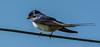 Rondine (G.Sartori.510) Tags: pentaxk3 pentaxdasmc300mmf4edifsdm rondine swallow