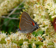 Oak Hairstreak. Satyrium favonius (gailhampshire) Tags: oak hairstreak satyrium favonius taxonomy:binomial=satyriumfavonius