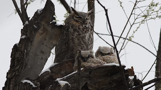Great Horned Owls in the Spring Snow 4