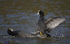 Coots fighting. (again) (Explored) (spw6156 - Over 5,540,238 Views) Tags: coots fighting again iso 640cropped copyright steve waterhouse explored