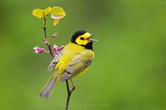 "Winter's Gear  3I4528 (Dr DAD (Daniel A D'Auria MD)) Tags: ""hoodedwarbler"" warbler warblers ""birdsofspring"" bird birds birding nature wildlife animal ""wildlifephotography"" ""naturephotography"" ""birdphotography"" avian ""avianspecies"" ""avianphotography"" ""birdinginthewild"" feathers ""featheredfriends"" ""worldbirds"" ""birdsoftheworld"" flight ""inflight"" colors wings ""newjersey"" ""delawarewatergap"" ""riverroad"" ""may2017"" pennsylvania birdsofpennsylvania"