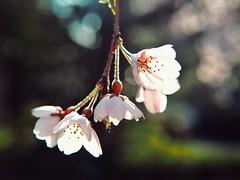 Springtime Scenes: Sakura (Jon-Fū, the写真machine) Tags: jonfu 2017 olympus omd em5markii em5ii em5mkii em5mk2 em5mark2 オリンパス mirrorless mirrorlesscamera microfourthirds micro43 m43 mft μft マイクロフォーサーズ ミラーレスカメラ ミラーレス一眼カメラ ミラーレス機 ミラーレス一眼 snapseed japan 日本 nihon nippon ジャパン ジパング japón जापान japão xapón asia アジア asian orient oriental aichi 愛知 愛知県 chubu chuubu 中部 中部地方 okazaki 岡崎 岡崎市 outdoors 野外 nature 自然 plant plants 植物 flora flower flowers 花 華 sakura cherryblossoms cherryblossom さくら 桜 hanami 花見