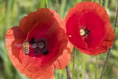 rosso (conteluigi66) Tags: papaveri papavero ape bee luigiconte rosso red vividstriking