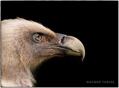 Gänsegeier (Wagner Tobias) Tags: geier stuttgart tier tierpark wilhelma zoo bw deutschland deu greifvogel habicht altweltgeier griffon griffonvulture vulture gypsfulvus accipitridae