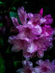 Rhododendron (tuvidaloca) Tags: rododendros blossom rosa primerplano nahaufnahme pink inflorescence green desenfoqueparcial grün flower flor closeup arbusto floración rhododendron rododendro garden shrub vistadecerca rosenrot heyday blütezeit blütenstand infloreszenz inflorescencia bokeh dof busch garten blüte bokehextreme rosado apogeo deeppink desenfoque jardín verde