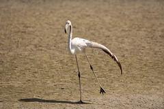 Pre-flight stretching (malc1702) Tags: flamingo birds largebirds migration migratorybirds nature wildlife animals nikond7100 tamron150600 wildlifesanctuary wingspread beauty grace stretching outdoor sunlight shadow