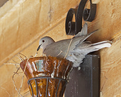 Eurasian-collarded Dove (Keith Carlson) Tags: nests doves