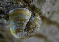 taking a breather (quietpurplehaze07) Tags: snail macromondays intothewoods tree bark trunk