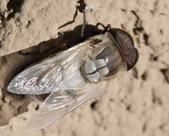 I Can See You With My Little Eyes (harefoot1066) Tags: diptera ashiza syrphidae syrphidfly eristalinae volucellini copestylum