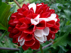 DALIA (cannuccia) Tags: flowers fiori nature dalie rosso red petali natura flowerarebeautiful macroflowerlovers