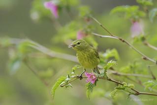 Pilgrimage to Tofino- Orange-crowned warbler