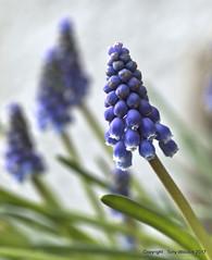 Grape hyacinth - M. armeniacum (pike head) Tags: grape hyacinth muscari e30 olympus garden uk devon southdevon southwest england