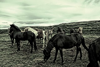 Iceland  ~ Icelandic Horses ~ Attraction Site
