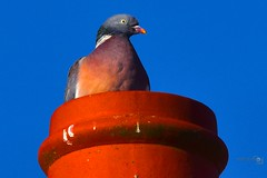 Chillin Pigeon (Paul_Dean) Tags: pigeon chillin blue sunny colourful bird