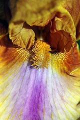 Iris macro1 (mamietherese1) Tags: earthmarvels50earthfaves phvalue