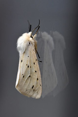 White Ermine Moth ... Spilosoma lubricipeda