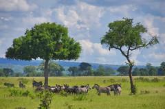 IMG21273 (Cybergabi) Tags: tanzania africa 2016 gnu zebras safari nationalpark mikumi