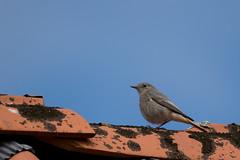 Hausrotschwanz Weibchen / Black redstart female (S. Markow) Tags: bird vogel outdoor nikon nikond5300 nature natur black redstart hausrotschwanz sky himmel sigma 150600mm fischlanddars zingst