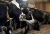 pawu027 (Otwarte Klatki) Tags: krowa krowy mleko zwierzęta cielak ferma andrzej skowron