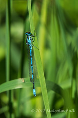 Photo of Common Blue - Woods Mill (41)