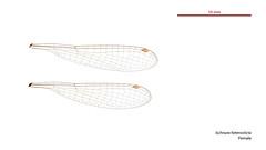 Ischnura heterosticta female wings