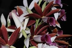 Phaius australis (andreas lambrianides) Tags: phaiusaustralis orchidaceae swamporchid phaiuscarronii phaiusleucophaeus phaiusgrandifoliusvarrowanae phaiusgrandifoliusvarbernaysiisoutterii endangered qld nsw australianflora australiannativeplants australianrainforests australianrainforestplants australianrainforestorchids phaius littoralarf swamparf arfp qrfp wetsclerophyllaf terrestrial terrestrialorchid lesserswamporchid southernswamporchid arfflowers maroonarfflowers