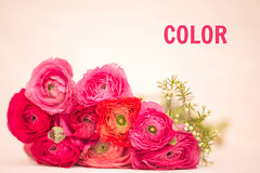 Color your life (Nathalie Le Bris) Tags: anivel fleur flor flower highkey renoncule stilllife